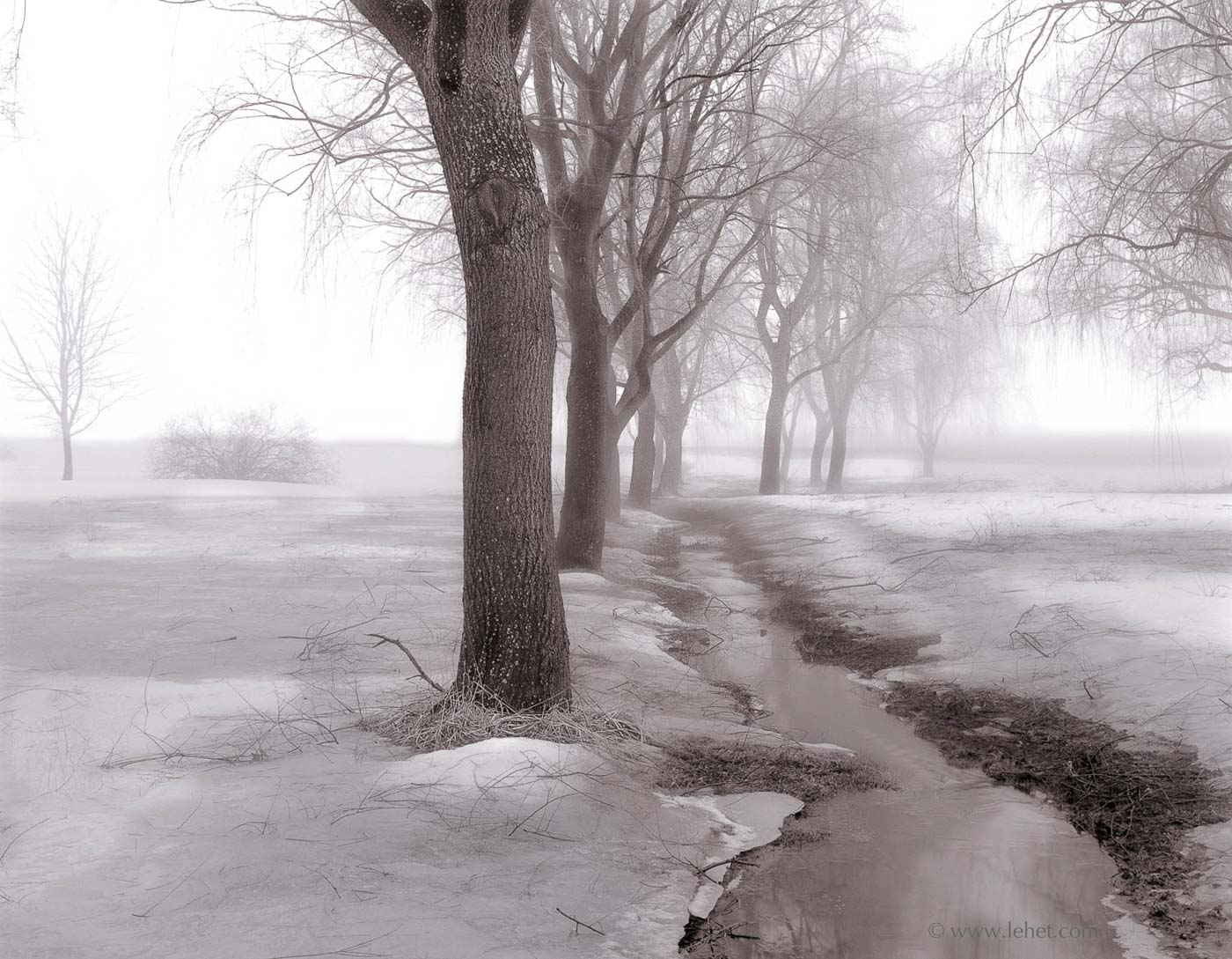 Row of Willows in fog