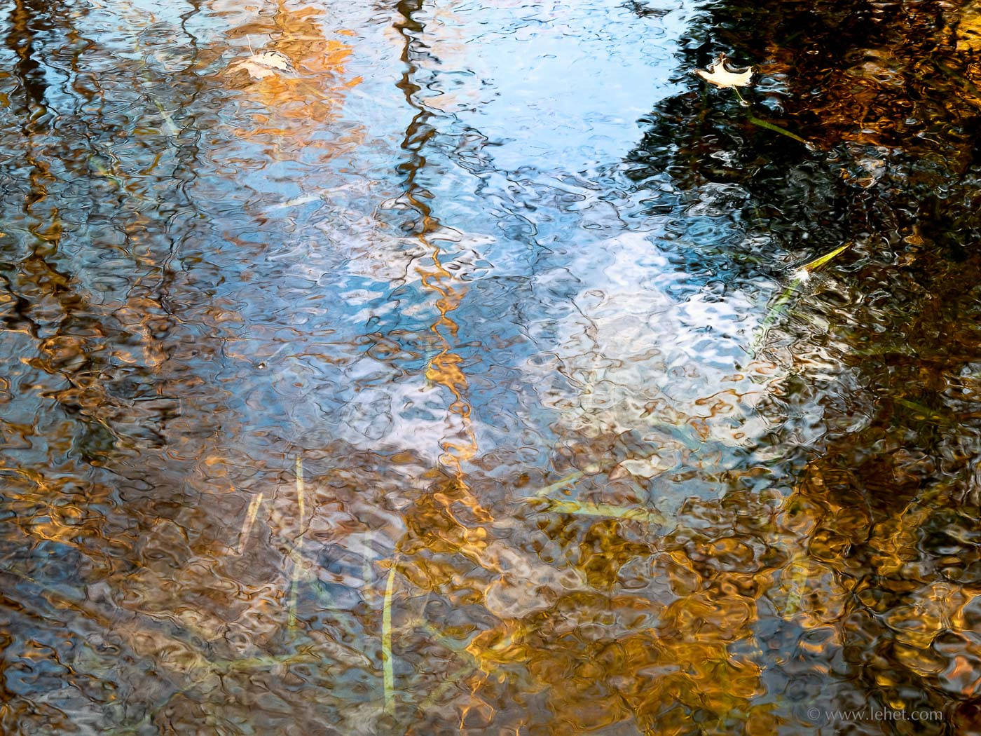two maple leaves in pond, water weeds, foliage and sky reflections
