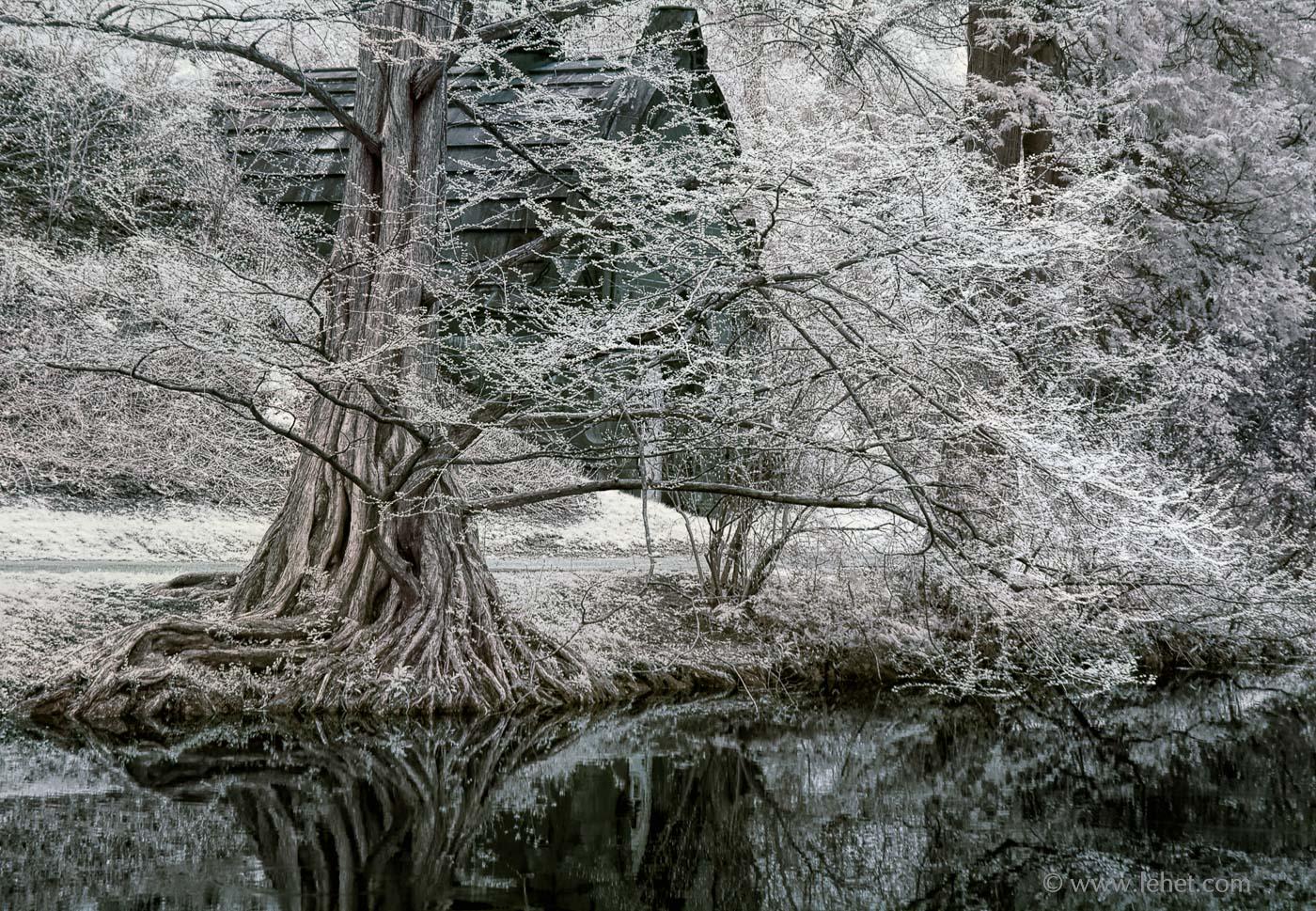 Dawn Redwood Mt Auburn Cemetery