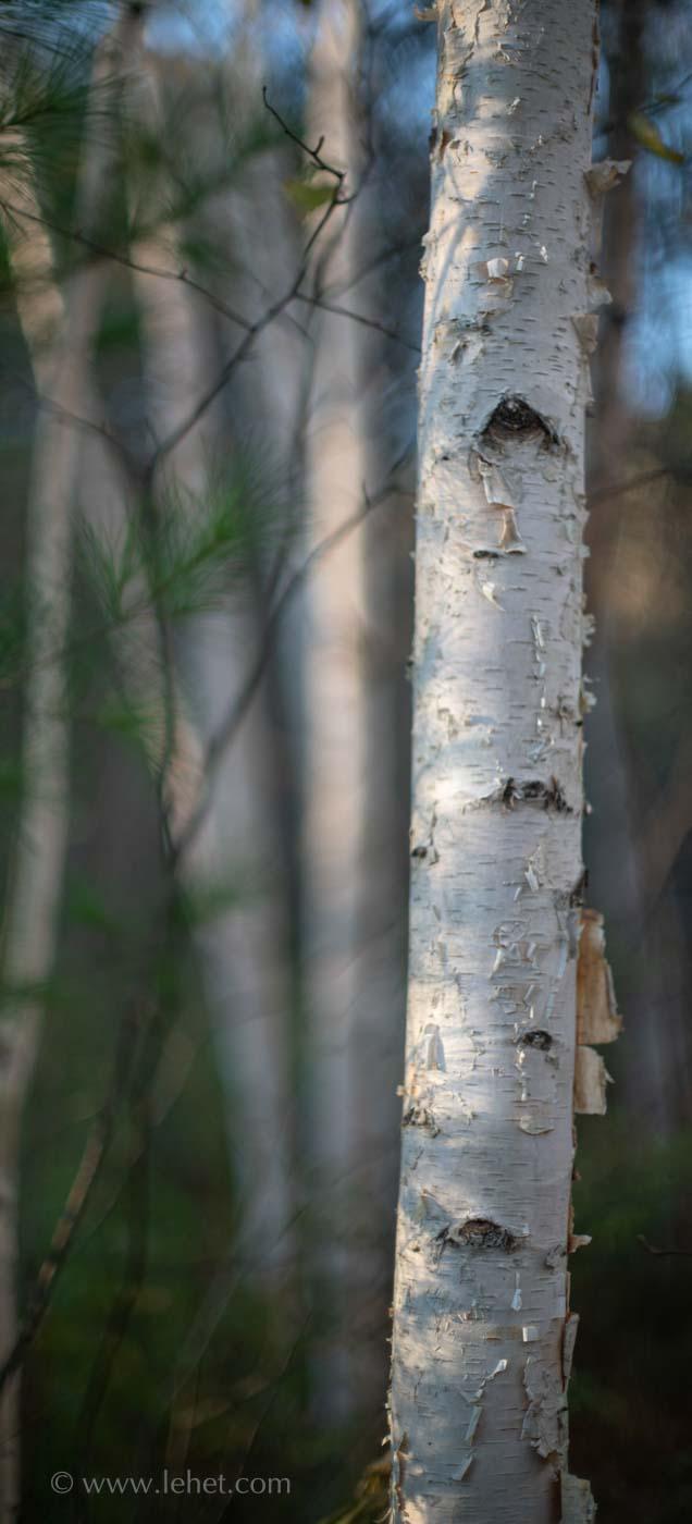 Birch in sunlight.