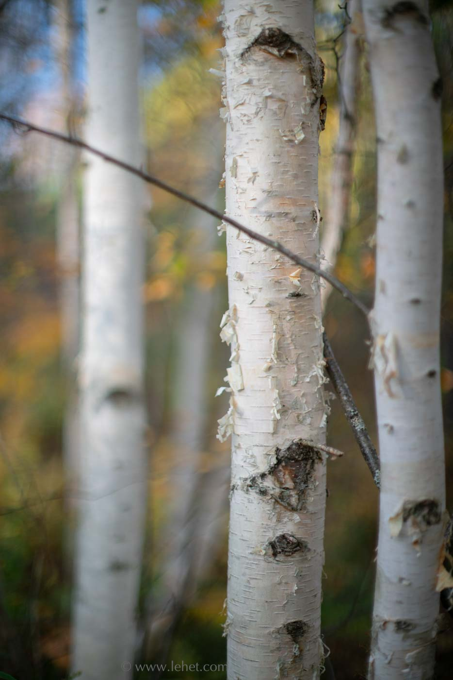 Birches and Fall Foliage, wide aperture