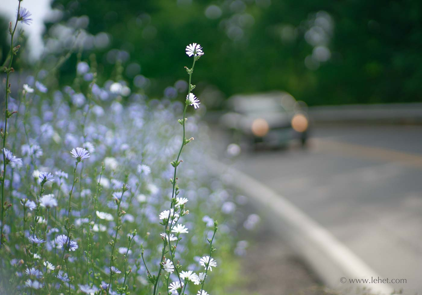 Roadside Chicory, Car, Vermont