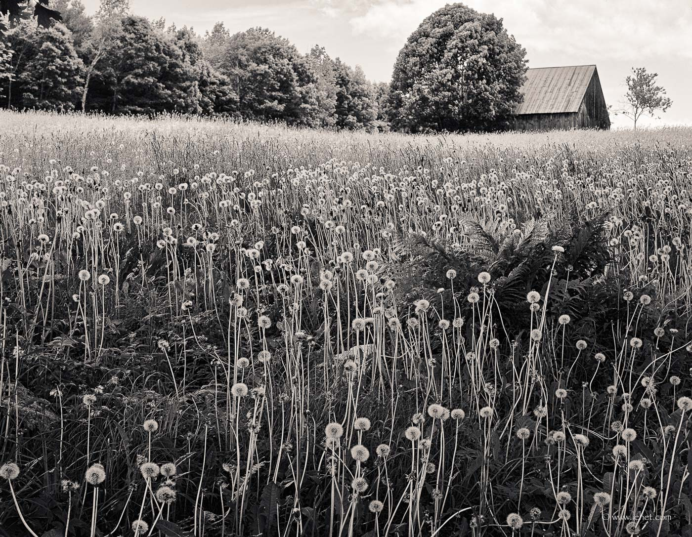 Dandelions and Barn, Vermont