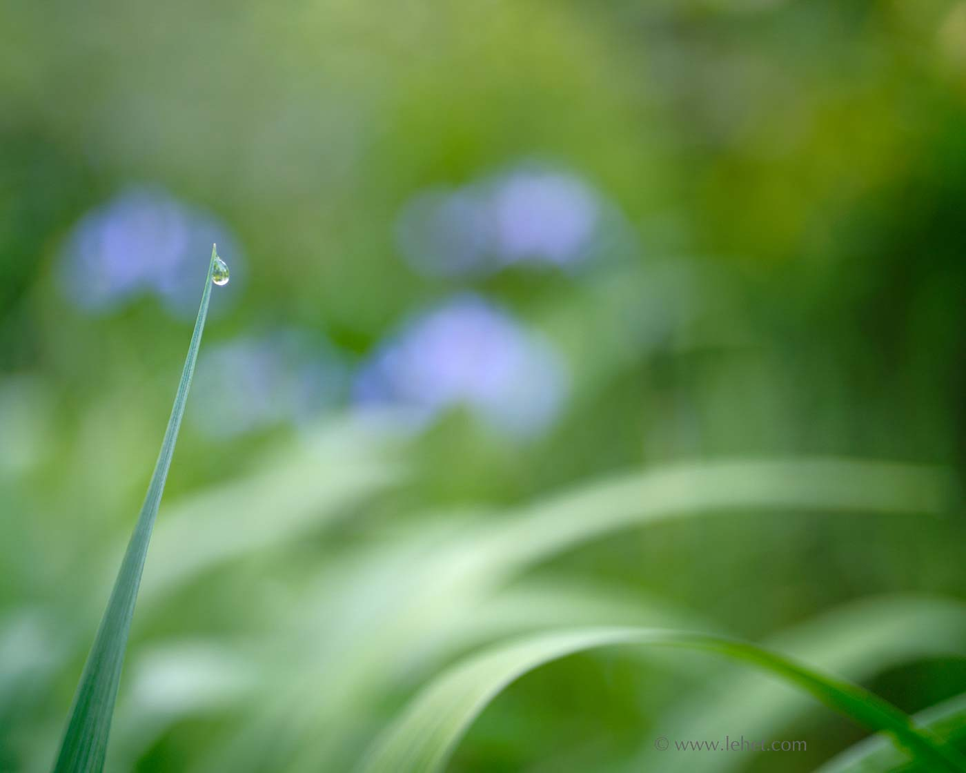 Dewdrop and Four Blue Flag Iris