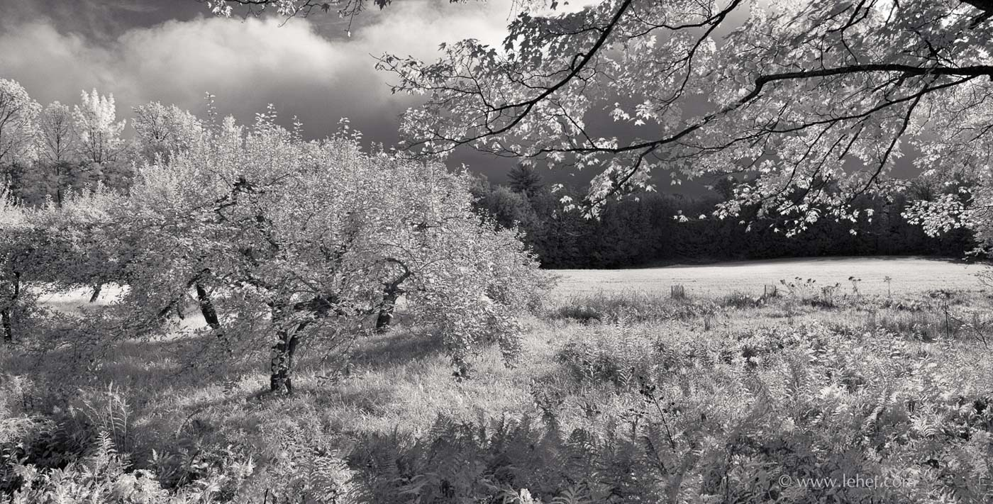 Apple Orchard and Maple
