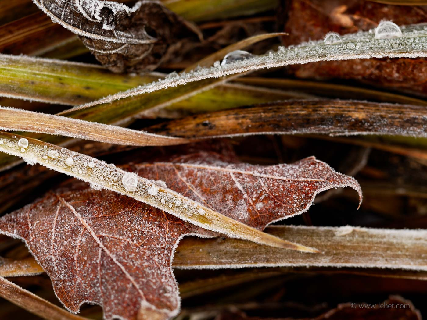 frozen dew on siberian iris and maple leaves autumn