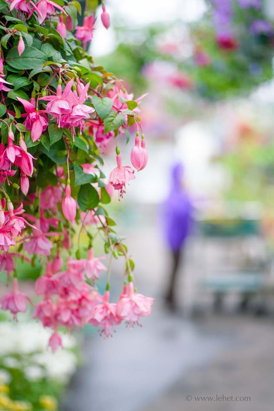 Pink Fuchsias, Purple Raincoat, Greenhouse