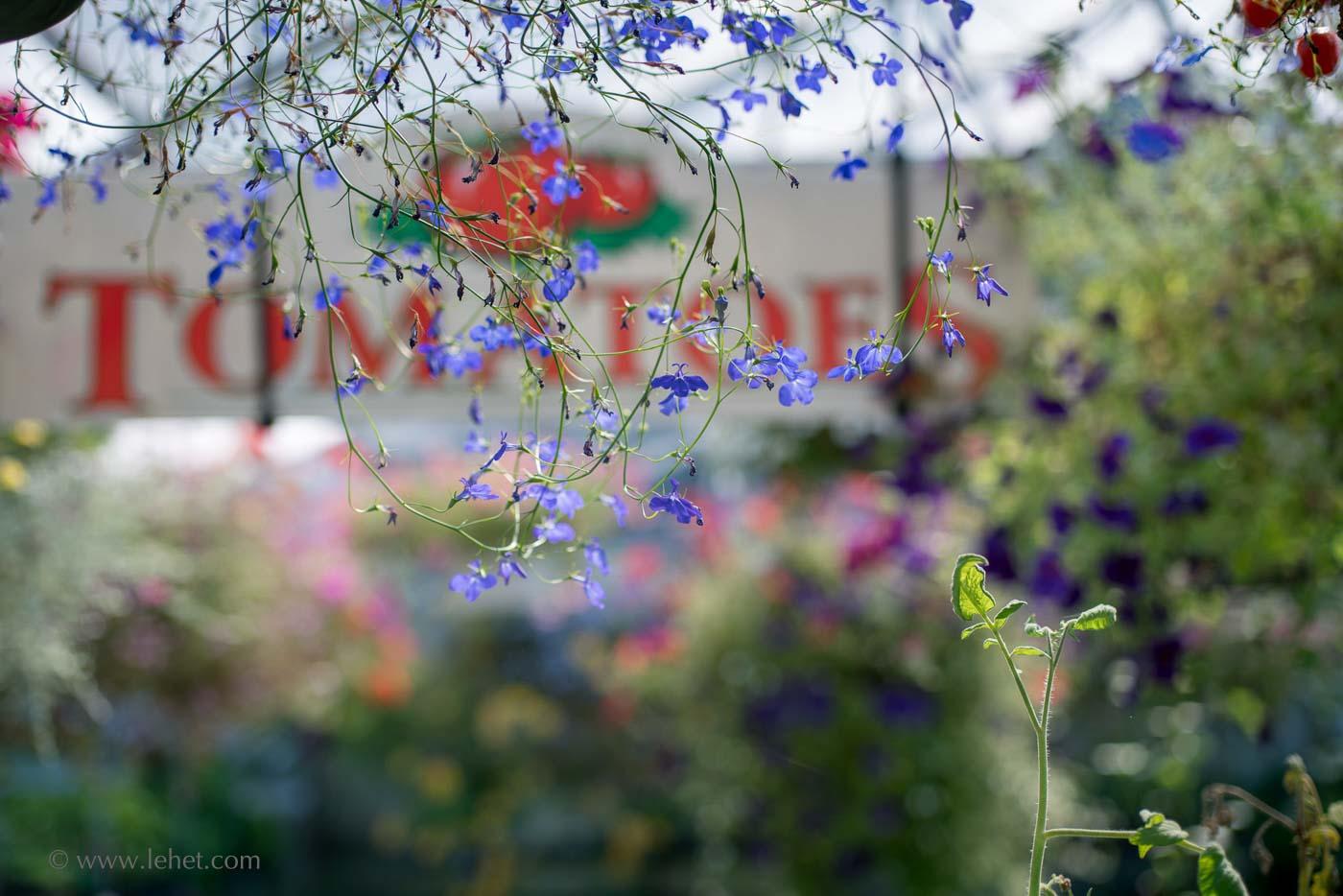 Tomatoes Sign, Lobelia, Greenhouse