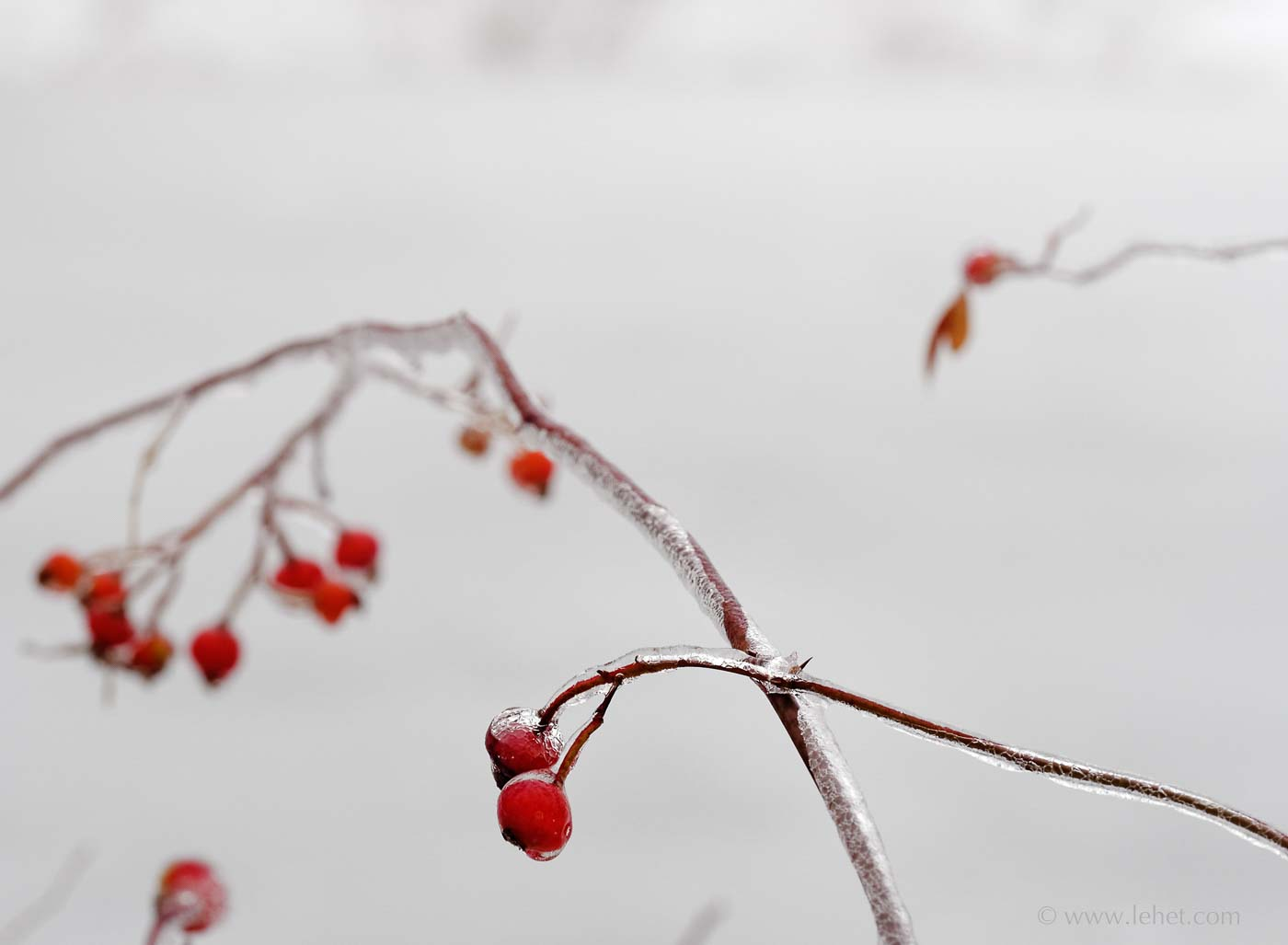 Rose Hips after Ice Storm