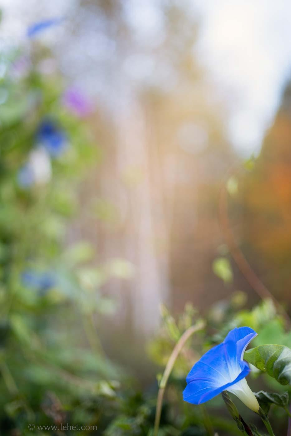 Morning Glory, Foliage, and Birches