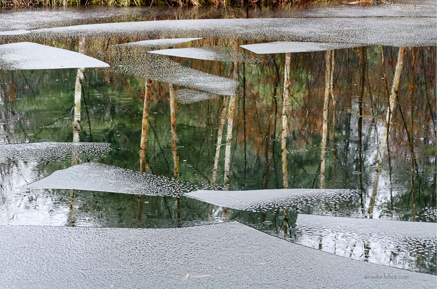 Just Freezing Pond in Rain Birch Tree Reflections