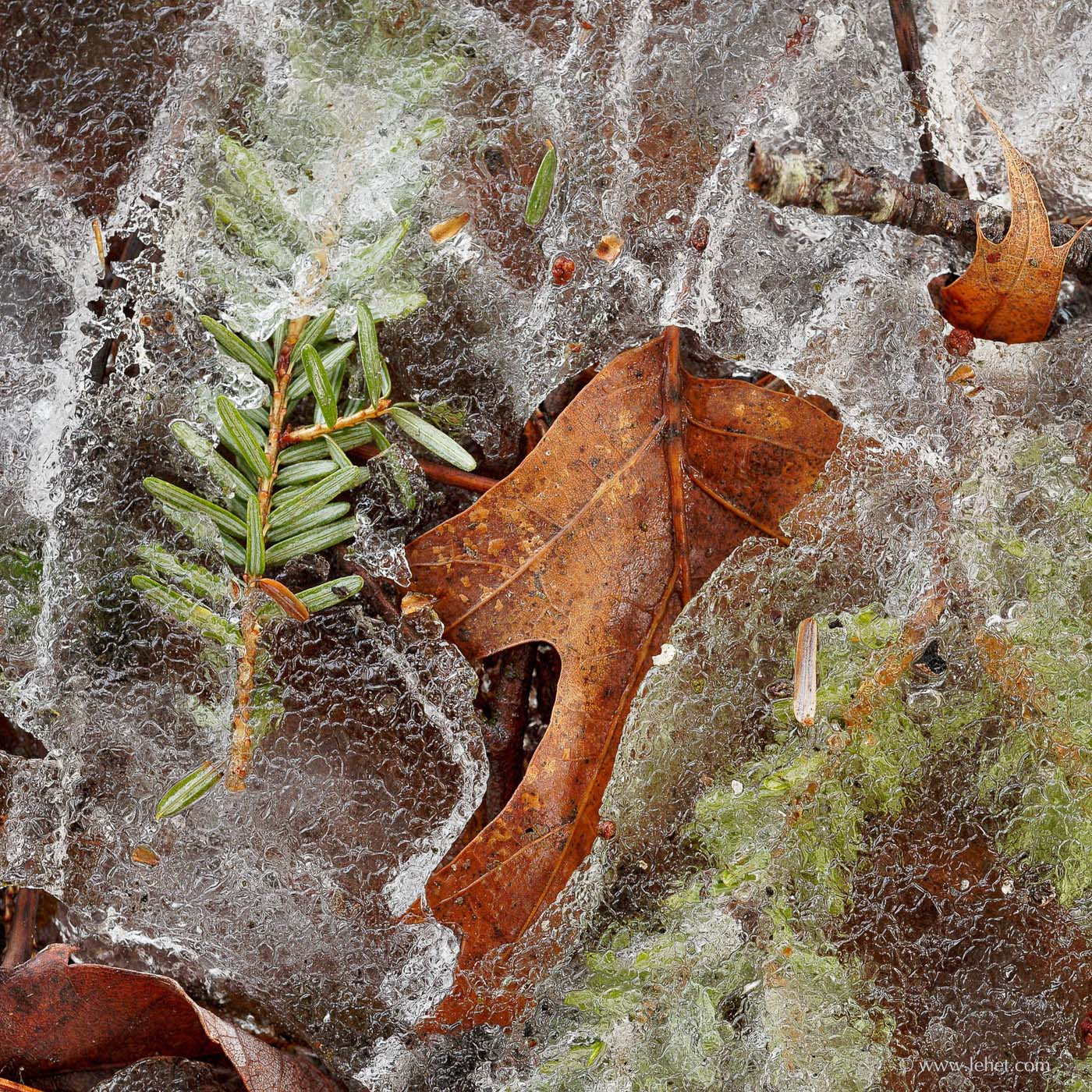 Oak Leaf, Hemlock Needles, Ice Vermont