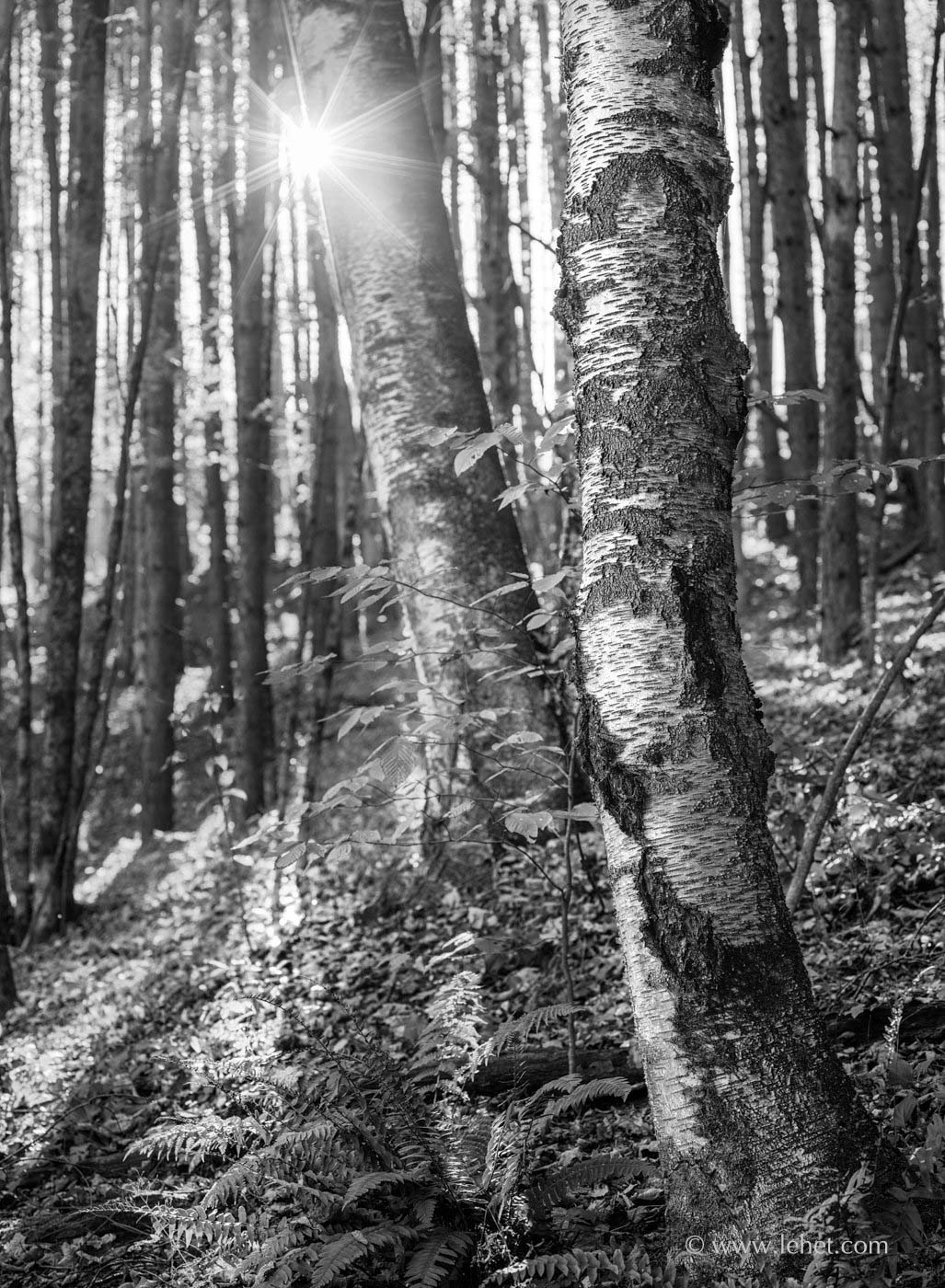 Black and White Birches in Fall Woods, Sunstar