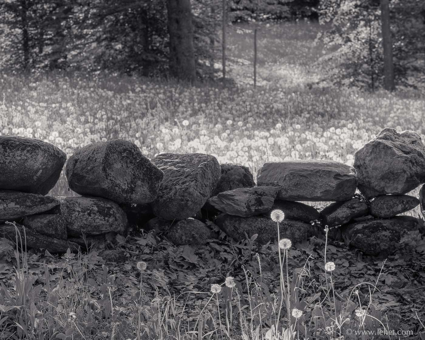dandelions and stone wall