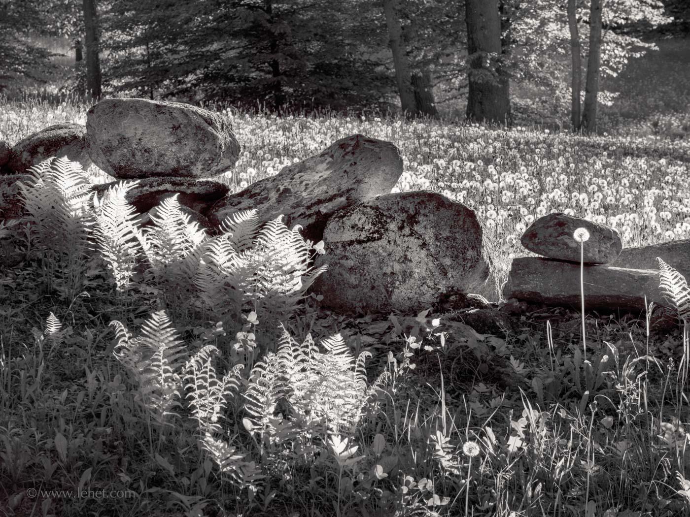 Stone Wall, Ferns, Dandelions,Vermont