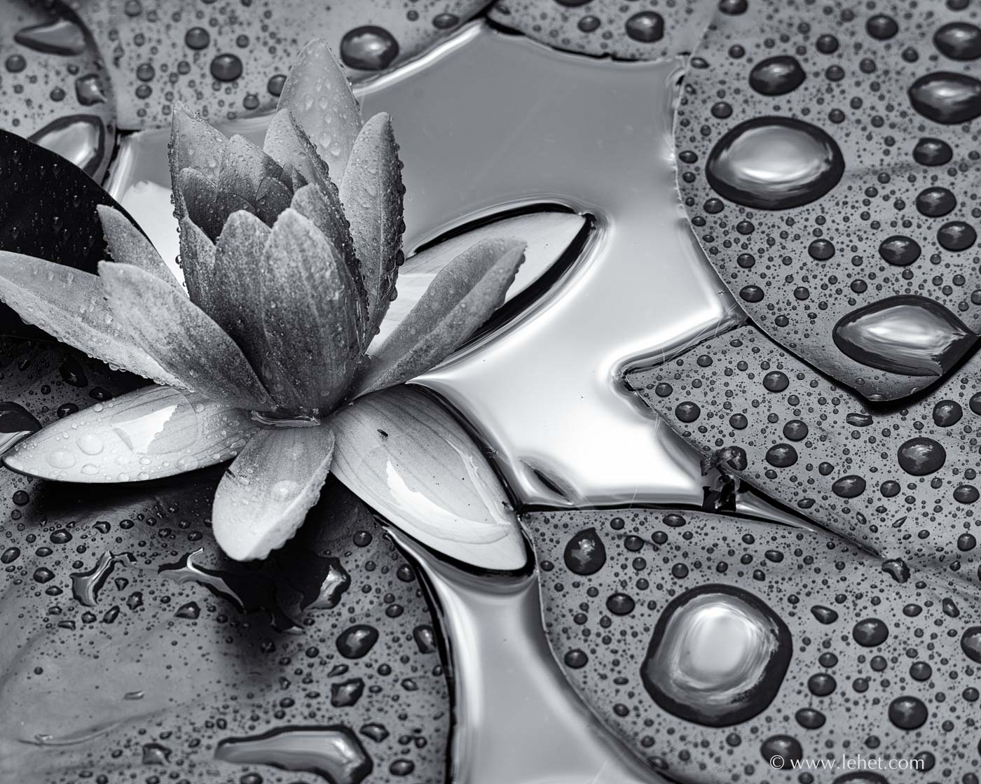 black and white wet morning glory after rain