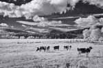 Cows, Infrared, Orford NH