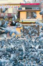 Pigeons and Coffee Shop, Bauddha, Nepal 2013