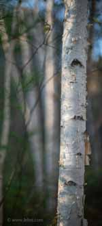 Light on Birch Trees, Bokeh