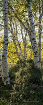 Yellow Leaf Birches and Asters Panorama