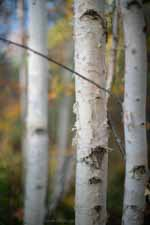 Birches and Gold Woods