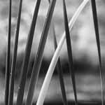 Black and White Cattails Abstract