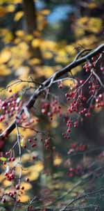 Red Crabapples and Gold Foliage
