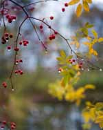 Crabapples and Swamp Rose in Autumn Rain