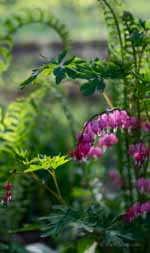 Bleeding Hearts and Unfurled Ferns