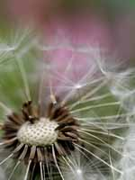 Gone by Dandelion by Pink Azelea