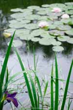 Japanese Iris and Waterlilies In Rain