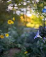 Morning Glory, Sunflowers, Fall Foliage