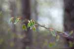 Spring Leaves, Beech Forest