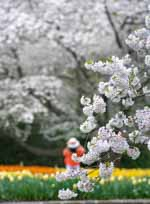 Two Flowering Trees, Tulips, White Hat