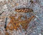 Pine Needles and Spring Ice, Pine Cone