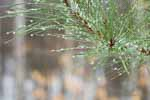 Wet Pine Needles in Winter Beech Wood