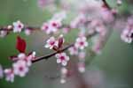 Plum Blossoms in Rain