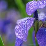 Purple Siberian Iris and Bud After Rain