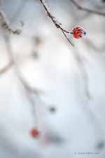 Rose Hip and Rime Ice in Fog