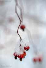 Rose Hips with Big New Snowflakes