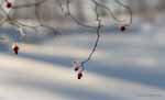 Rose Hips in Snow And Fog