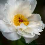 White Peony and Dew, Square
