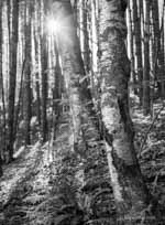 Black and White Birch in Fall Woods with Sunstar