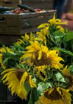 Sunflowers in Bucket, Farmer's Market, Vermont