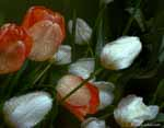 Wet Apricot and White Tulips, 1992