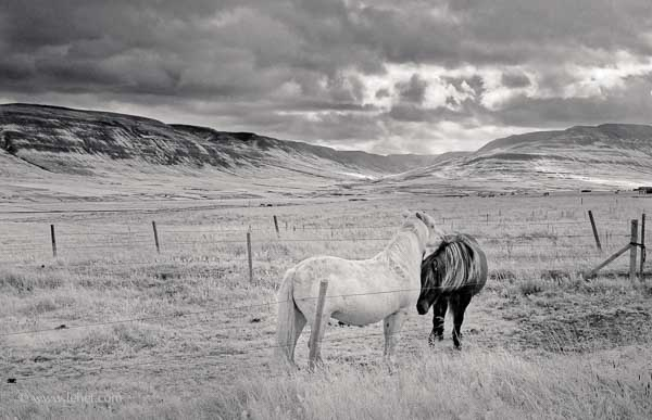 Two Horses, Iceland