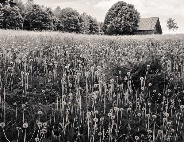 Dandelions Gone To Seed Barn Hartland VT 2014