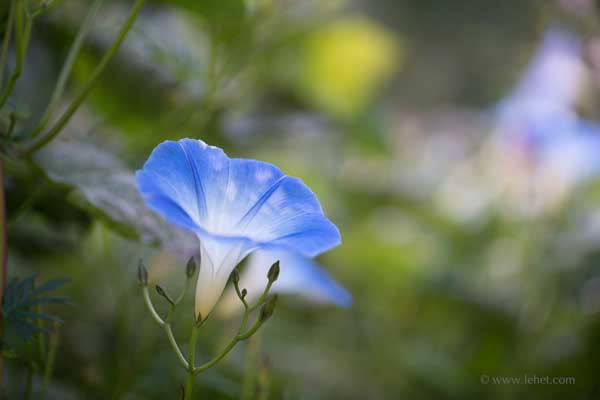 Light on One Morning Glory