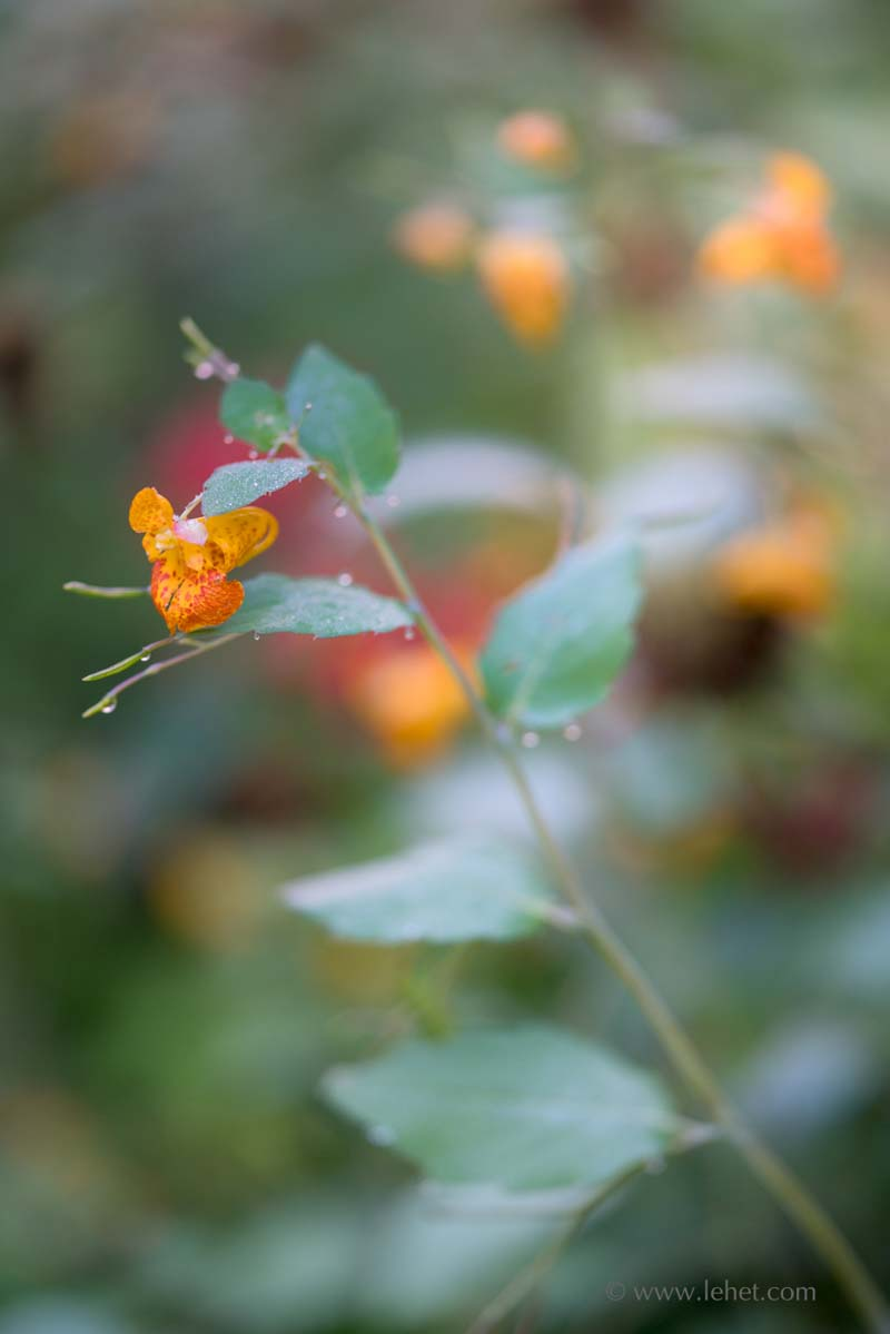 Jewelweed, Monarda, Dew