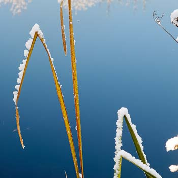 Snowy Fall Cattails, Vermont, 2011